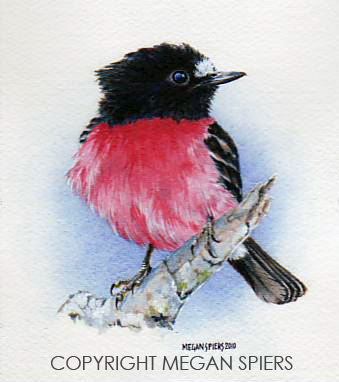 Pink Robin Copyright Megan Spiers